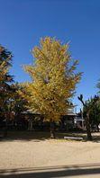 中区奥市グランドの銀杏の紅葉
