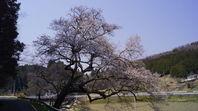 一本桜ドライブ その1