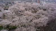 津山 鶴山公園の桜