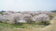 百間川せせらぎ広場の桜