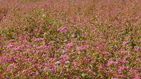 久米郡三咲町の紅蕎麦畑