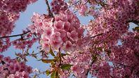 児島湖花回廊 河津桜